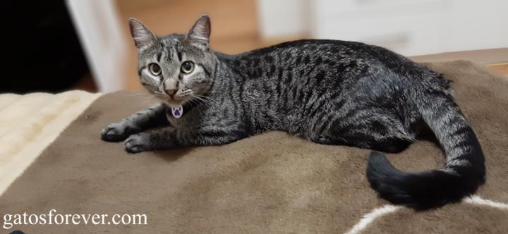 Lenguaje corporal de los gatos: Señales y posturas que usan para comunicarse